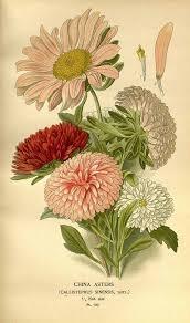 Callistephus sinensis Bergmans var. hort. Step, E., Bois, D ...