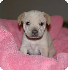 Jack Russell Terrier/Shar Pei Mix Puppy for adption in Santa Ana, California - - 104184364