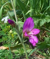 Gladiolus italicus Calflora