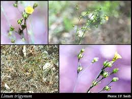 Linum trigynum L.: FloraBase: Flora of Western Australia