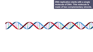 dna replication essaybbc bitesize   higher biology   the structure and replication of     the process