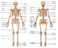 human anatomy bone diagram   anatomy human body    human anatomy bone diagram human skeleton anatomy bones diagram human anatomy diagram