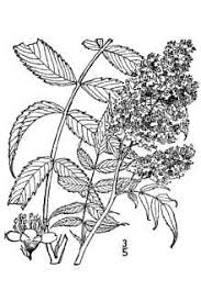 Plants Profile for Sorbaria sorbifolia (false spiraea)