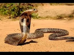 Image result for King cobra /images