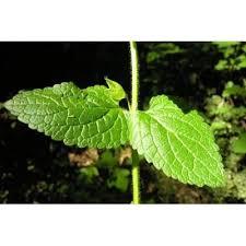 Genere Melittis - Flora Italiana
