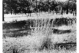 Plants Profile for Poa pratensis (Kentucky bluegrass)