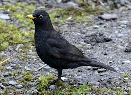 Image result for blackbird in a loaf of bread picture