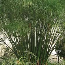 Graceful Grasses® King Tut® - Egyptian Papyrus - Cyperus papyrus ...