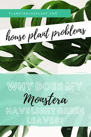 Why Does My Monstera Have Light <b>Green Leaves</b>? – Planet ...