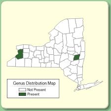 Onobrychis - Genus Page - NYFA: New York Flora Atlas - NYFA ...