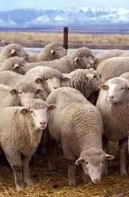 <b>Sheep</b> - Wikipedia