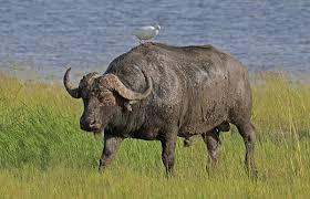 <b>African</b> buffalo - Wikipedia