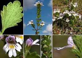 Euphrasia officinalis L. subsp. picta (Wimm.) Oborny - Portale sulla ...