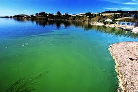 Image result for blue green algae
