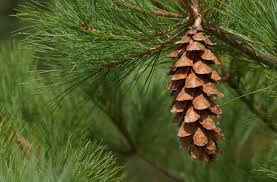 White Pine Bark Health Benefits