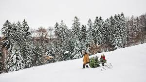 Where you can cut down your own Christmas tree in Colorado and ...