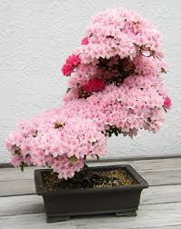 azalea bonsai tree buy bonsai species bought bonsai tree