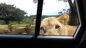 Image result for lion kills woman in south africa