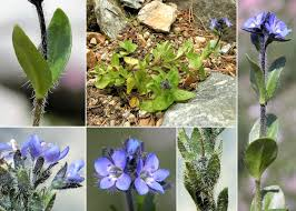 Veronica alpina L. - Portale sulla flora del Parco Naturale Dolomiti ...