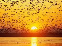 """Résultat de recherche d'images pour """"image: nuée d'oiseaux"""""""
