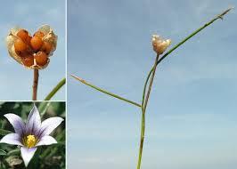 Romulea columnae Sebast. & Mauri - Guida alla flora degli stagni ...