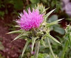 فوائد نبات الخرفيش images?q=tbn:ANd9GcT