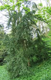 Buxus sempervirens - Wikipedia