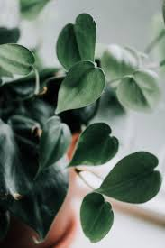 <b>Heartleaf</b> Philodendron (Philodendron scandens oxycardium ...