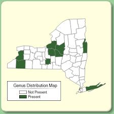 Borago - Genus Page - NYFA: New York Flora Atlas - NYFA: New ...
