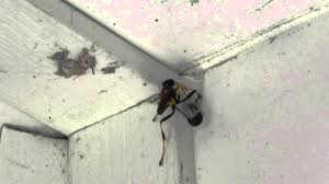 Black-and-yellow Mud Dauber vs spider - YouTube