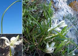 Ornithogalum corsicum Jord. & Fourr. - Guida alla flora degli stagni ...