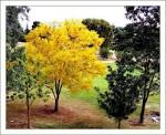 yellow jacaranda