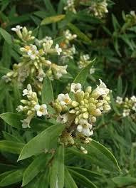 Daphne gnidium - Wikipedia