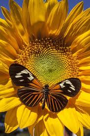 "Photograph-<b>Sunflower</b> with speckled <b>butterfly</b>-10""x8"" Photo <b>Print</b> ..."