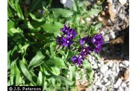 Plants Profile for Anchusa officinalis (common bugloss)