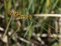 Carex elongata, Elongated Sedge