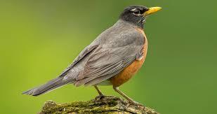 American Robin Identification, All About <b>Birds</b>, Cornell Lab of ...