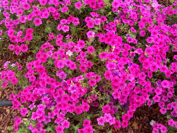 Image result for pink phlox