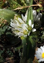 Allium chamaemoly — Wikipédia