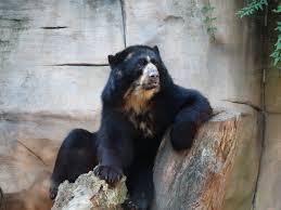 Очковый медведь — Википедия