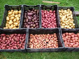 produce clerk the produce clerks handbook by rick chong the potato category is relative easy to handle unless product is received pre existing quality problems it is actually surprising how common poor