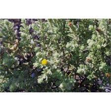 Genere Chiliadenus - Flora Italiana