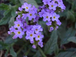 Heliotropium amplexicaule - Wikipedia