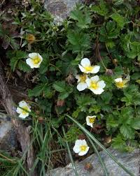 Potentilla crassinervia · iNaturalist