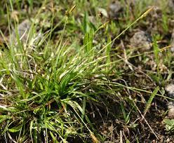 CAREX DEPRESSA subsp. TRANSSILVANICA (Schur) T. M. ...