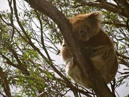 my first impressions of the shooting star koalas n wildlife kangaroo island koalas