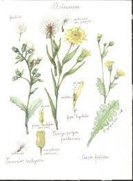 Erbario Ariosto - Leucanthemum praecox Horvatić