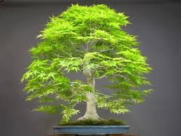 50 japanese bonsai maple tree seeds mini bonsai tree for indoor plant can put on office bonsai tree office table