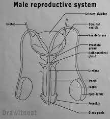 male reproductive system labeled diagram   aof comgallery of male reproductive system labeled diagram