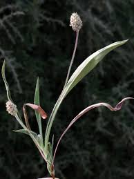 Plantago amplexicaulis Cav. | Flora of Israel Online